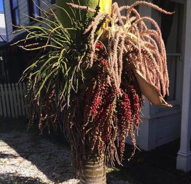 nikau-berries