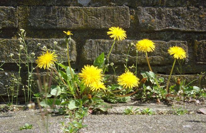 1280px-Dandelion_ground_level.JPG
