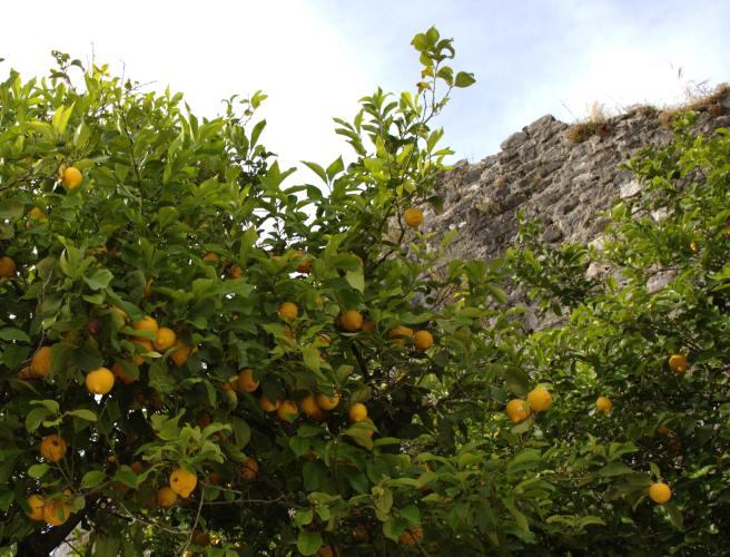 lemon-tree-honza-soukop-ccby2.0