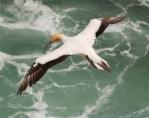Australasian Gannet seen from above, photo by Avenue CC BY-SA 3.0