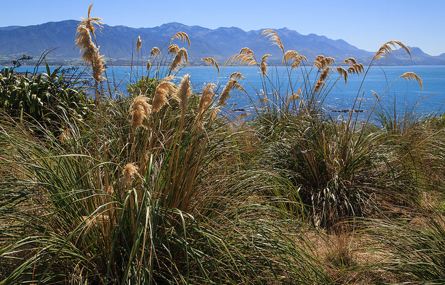 Toetoe growing in Kaikoura. Photo by Allan Harris, CC BY-ND 2.0