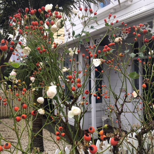 Photo of an unpruned Iceberg rose bush outside a Wellington cottage