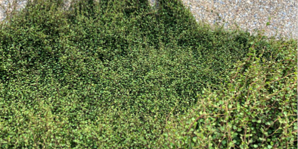 Creeping muehlenbeckia on Te Papa wall, Wellington Harbour